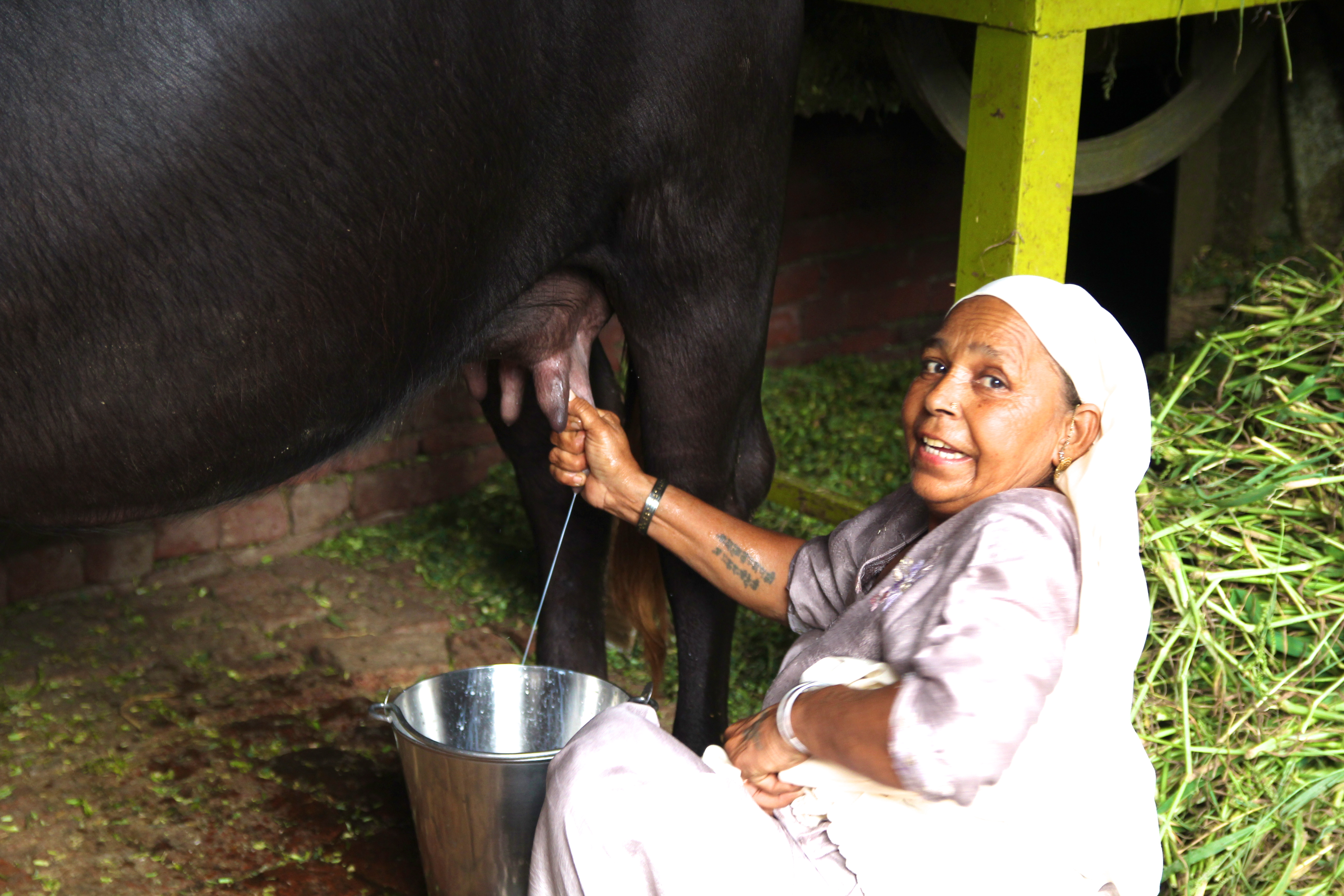 Milking the buffalo